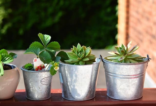 growing strawberry plants in pots