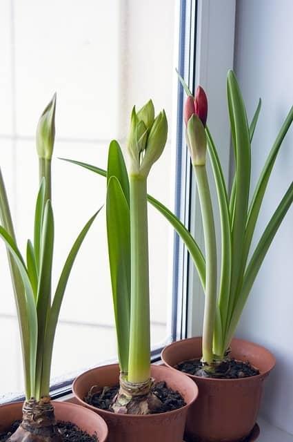 Amarylis Indoor Plant
