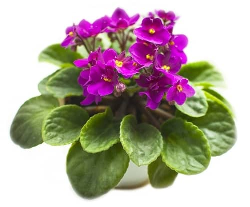 caring for indoor violet plants