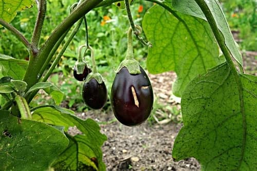 how to grow aubergines
