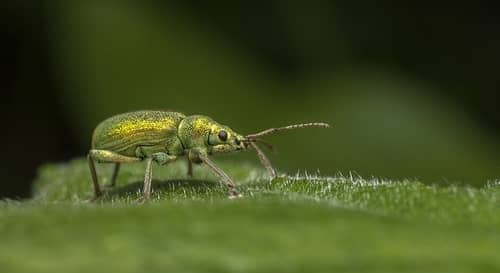 the weevil